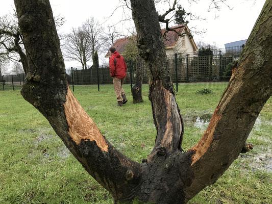 ook enkele oudere bomen hebben flinke knaagsschade opgelopen