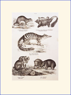 Wombat, koala and others