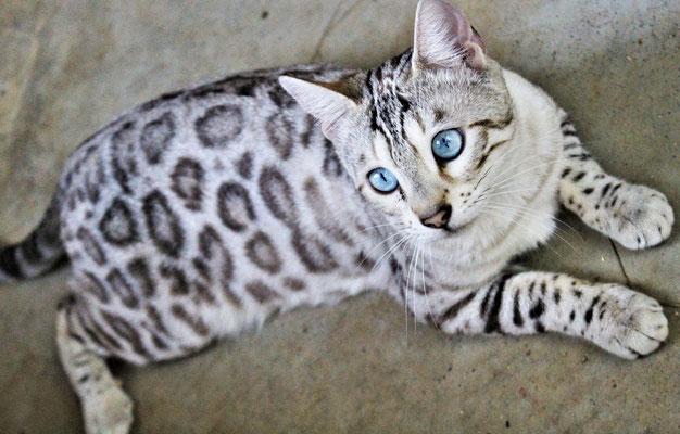 Osiris Bengal Elevage De Chats Leopards O S I R I S B E N G A L