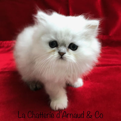 chaton persan mâle black silver shaded