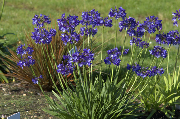 Agapanthus x Northern Star ®