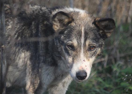 Die einzigartige Buba wurde, dem Tode näher als dem Leben, von Petra und Micha G. auf der Straße entdeckt. Drei Tage gaben ihr die Tierärzte - aber die Liebe, die sie erfahren durfte, ließ 26 wundervolle Wochen daraus werden! Run Free, kleine Schönheit!