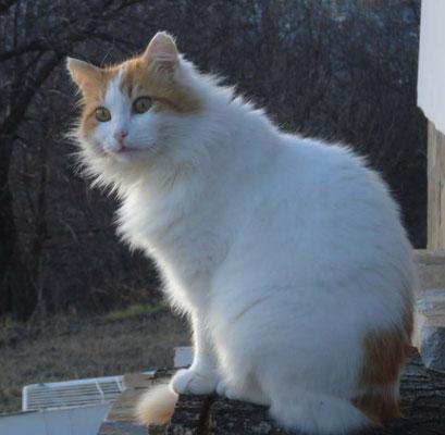SOCRATES... Du hast mich von meiner hochgradigen Katzenallergie geheilt und unser Leben so sehr bereichert - bis ein Auto Dich nachts aus unserer Mitte gerissen hat - und unsere Herzen brachen! Wir sehen uns, mein Engel!!!