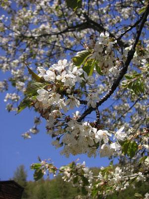 Kirschblüten im Hochgebirge