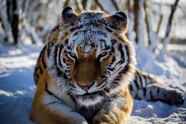 Treffen Sie Timur & seine Tigerfreunde im Tier-Erlebnispark Bell. Foto Copyright by SimoneSchmidtFotomomente
