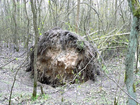 Biotop Baumscheibe, Foto: U. Postler