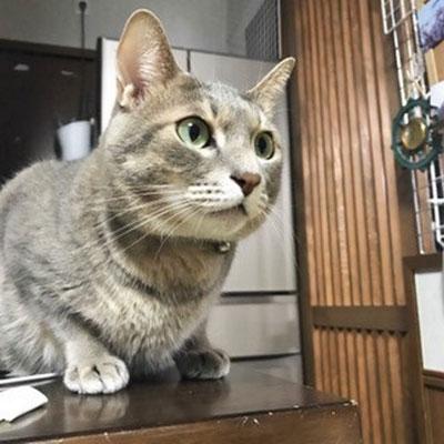 めんま:♂:山口: 仔猫の時に商店街のアーケードで保護されためんまくん。今では大きな猫になりました。:2016/11/12