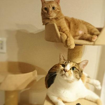太郎とみかん:♂と♀:愛知:太郎君は7kg越えの大きな猫。みかんちゃんとは仲良し兄妹。:2016/11/04