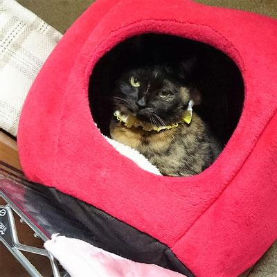 小梅:♀:愛知:ネコトヒトの猫飾りで飾られて、お嬢様気分の小梅ちゃん。:2016/12/25:掲載商品⇒猫用アクセ(ダブルリボン水玉フリル)