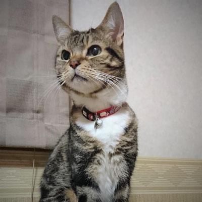 凛:♂:香川:ブリーダーの崩壊現場から保護された凛くん。おっとり気質でどんくさいところも。猫パンチがゆるゆるだとか・・・。:2017/01/19
