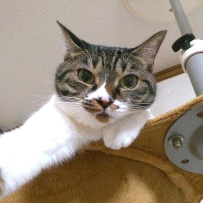 こむぎ:♀:大阪:多頭家族の甘えん坊長女猫。:2016/10/12