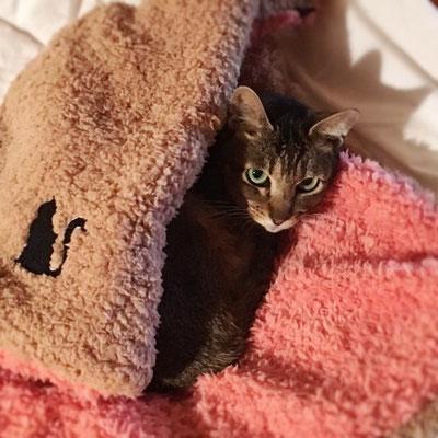 はぐ:♀:北海道:ふわもこブランケットで包まれるはぐちゃん。コンビニの駐車場出身。はぐという名前なのにハグはお断り?:2016/11/01:掲載商品⇒猫と人のふわもこリバーシブルブランケット