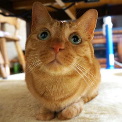 ちゃぴこ:♀:埼玉:クリクリお目目の美人猫。:2016/10/09