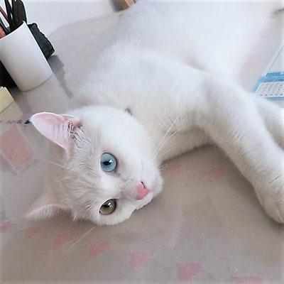 チロコ:♀:埼玉:外猫で生まれ保護されたチロコちゃん。見事なオッドアイ ! その 性格は・・・キツイらしいですよ。:2017/02/05