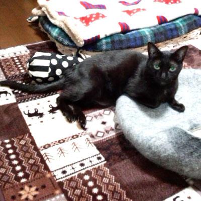 くー:♀:大阪:猫達ぬいぐるみをお尻にひいて、カメラ目線で優雅なポーズを決めてくれたくーちゃん。:2016/10/15:掲載商品⇒猫達ぬいぐるみ