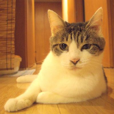 志乃(しの):♀:千葉⇒東京:交通事故で大きなけがを負ったところを保護された志乃ちゃん。性格は・・・ツンデレの女王様だそうです。:2017/02/14