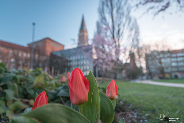 Rote Tulpen blühen im Hiroshimapark in Kiel