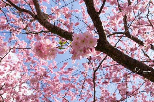 Kirschblüten am Lessingpatz in Kiel