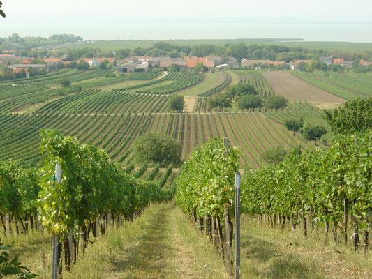 begrünter Weingarten mit Blick auf den Neusiedlersee