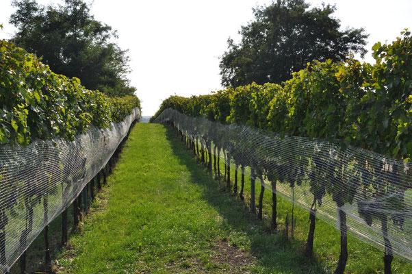 begrünter Weingarten mit Schutznetz gegen die lästigen Starre