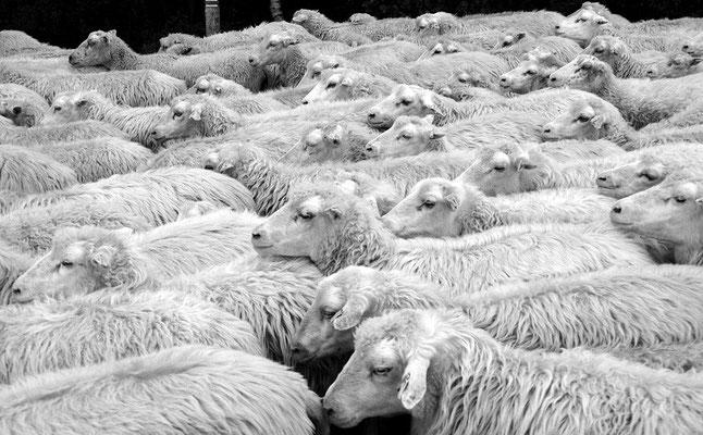 Schafe TEEVENER HEIDE