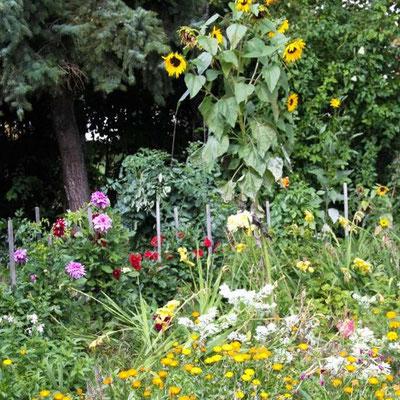 Sonnenblumen im Bauerngarten