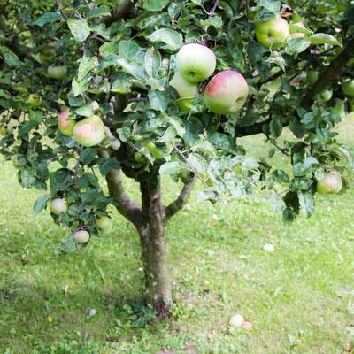 Gesunde saftige Äpfel