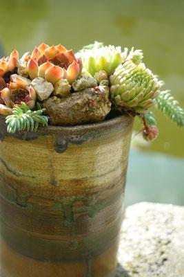 Sempervivum im frostfesten Keramikgefäß
