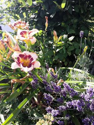 Taglilien und Lavendel
