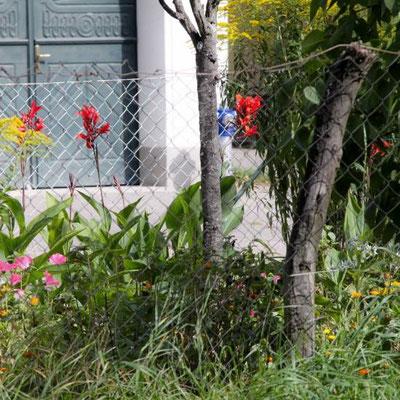 Cannas im Vorgarten