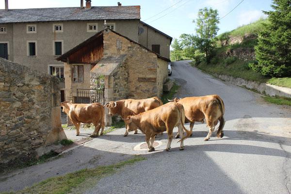 Retour à la ferme, retrouvailles veaux, vaches mais sans cochon