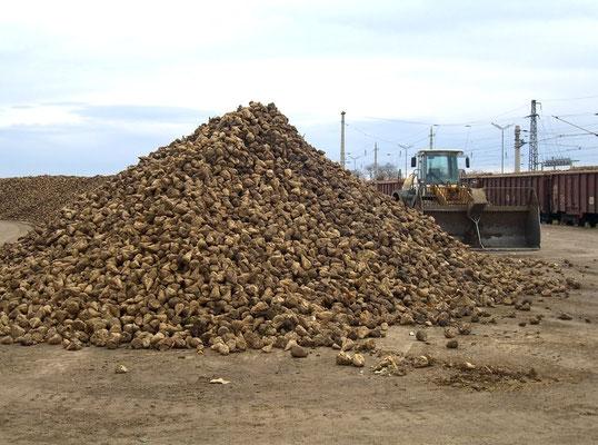 Im Herbst werden Berge von Zuckerrüben per Zug verschickt
