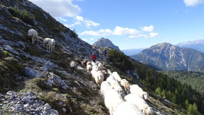 alle Schafe gingen gerne mit uns mit