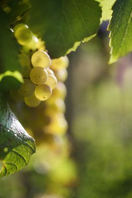 Grappe raisin Chardonnay - Crédit BIVB/Armelle Photographe