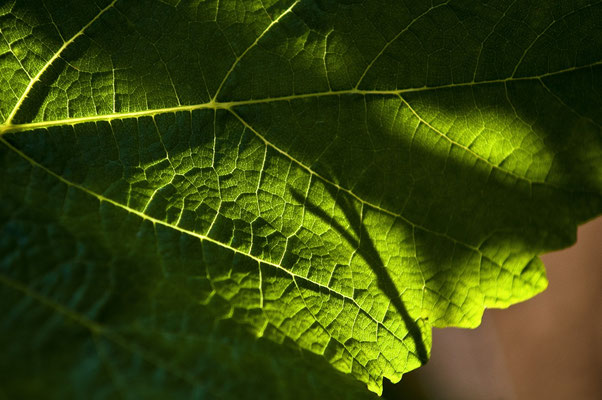 Feuille vigne chardonnay - Crédit BIVB/Ibanez
