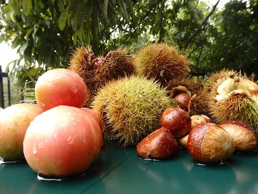 藤野の庭での収穫!でもこの立派な栗の木が10月の台風で半分折れてしまった