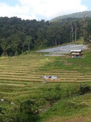 Reis- und cash crop Terrassen.