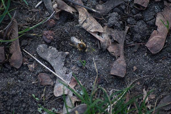 Biene auf Schotter