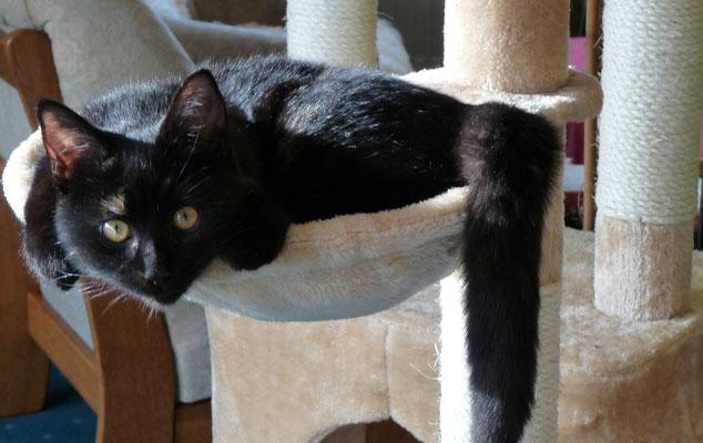 Katze Fritzi passt gerade noch in die Liegemulde des Kratzbaums