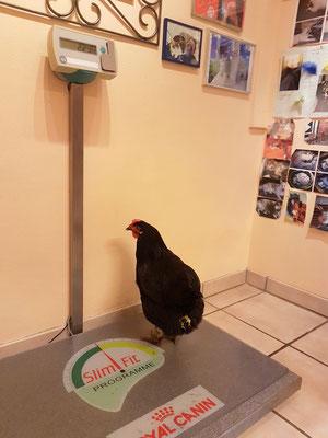 Das Huhn hat Durchfall. Für die exakte Medikamentendosierung wollen wir das genaue Gewicht feststellen.
