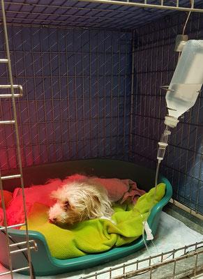 Hündin Emma mußte auf unserer Intensivstation wegen einer schweren Vergiftung mit Rattengift per Infusion behandelt werden.