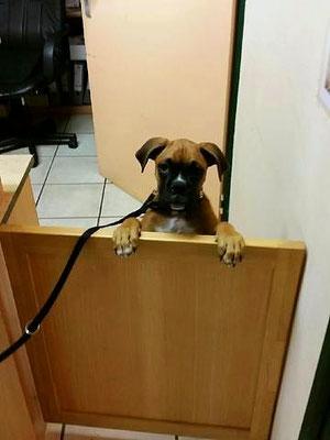 Hund an der Anmeldung zur tierärztlichen Kleintier-Sprechstunde. Einen Termin, bitte!