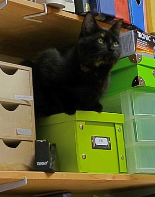 Katze Fritzi bewacht das Regal
