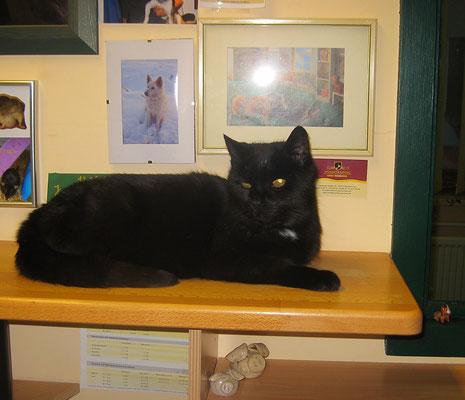 Katze Schröder liegt gerne auf dem Tresen der Anmeldung und hat den Überblicküber alles, was in unserer Heider Kleintier-Praxis passiert.
