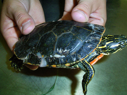 Wasserschildkröte mit verletztem Panzer