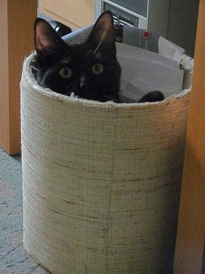Katze Fritzi verseckt sich im Papierkorb