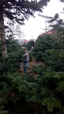 Weihnachtsbaum Fällen.Christbaum Fällen Lenaidanmarks Webseite