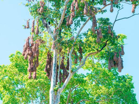 Montezuma Oropendola colony , Psarocolius montezuma