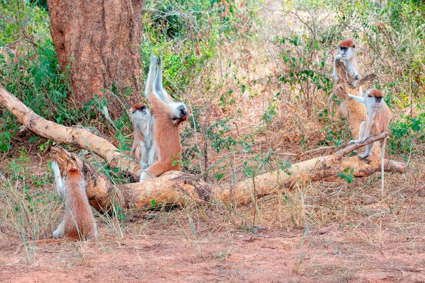 Patas monkey, Erythrocebus patas