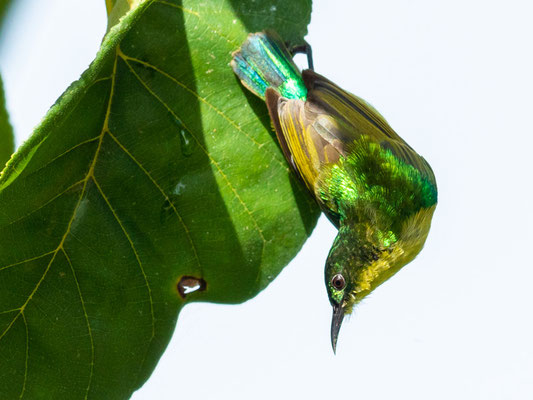 Collared sunbird, Hedydipna collaris